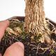 Kryty bonsai - Buxus harlandii - Bukszpan korkowy - 5/7