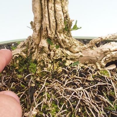 Kryty bonsai - Buxus harlandii - Bukszpan korkowy - 5