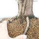 Outdoor bonsai - Juniperus chinensis - chiński jałowiec - 5/6