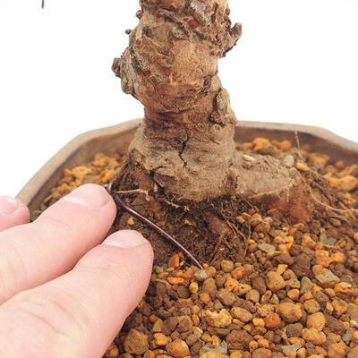 Outdoor bonsai - Zelkova - Zelkova NIRE - 5