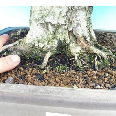 Na zewnątrz bonsai-Karpiny KARPINOWE - Koreański Grab - 5