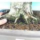 Na zewnątrz bonsai-Karpiny KARPINOWE - Koreański Grab - 5/5