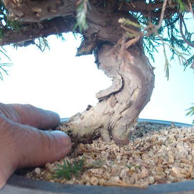 Odkryty bonsai - Juniperus chinensis ITOIGAWA - chiński jałowiec - 5