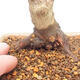 Outdoor bonsai - Klon palmatum DESHOJO - Klon japoński - 5/6