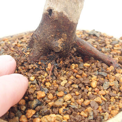 Outdoor bonsai - Klon palmatum DESHOJO - Klon japoński - 5