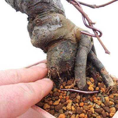 Outdoor bonsai - Pseudocydonia sinensis - Pigwa chińska - 5