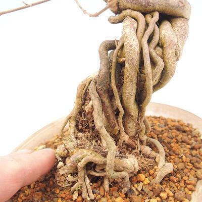 Outdoor bonsai - piękny Callicarpa - 5