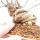 Outdoor bonsai - piękny Callicarpa - 5/6