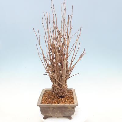 Outdoor bonsai - Ginkgo biloba - 5