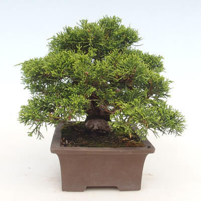Outdoor bonsai - Juniperus chinensis Itoigawa-chiński jałowiec - 5