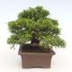 Outdoor bonsai - Juniperus chinensis Itoigawa-chiński jałowiec - 5/6
