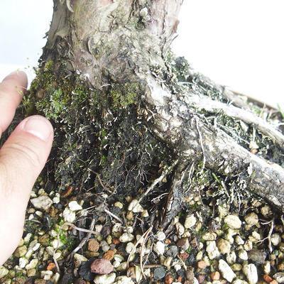 Outdoor bonsai - Juniperus chinensis - chiński jałowiec - 5