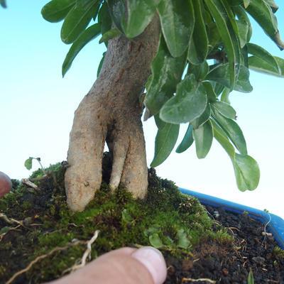 Pokój bonsai-granat PUNICA-granat - 5