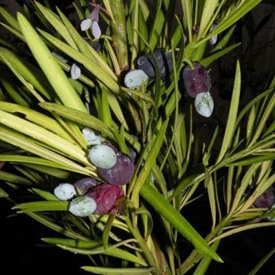 Kryty bonsai-Podocarpus- kamień tys - 5