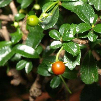 Kryty bonsai - Carmona macrophylla - Tea fuki PB2191309 - 5