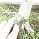 Outdoor bonsai - Pseudolarix amabilis - Pamodřín - 6/6
