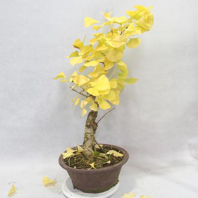 Outdoor bonsai - Ginkgo biloba - 6