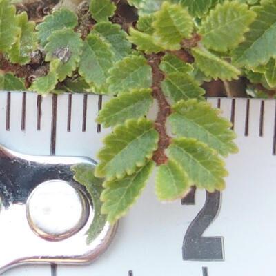 Bonsai zewnętrzne - Ulmus parvifolia SAIGEN - Wiąz drobnolistny - 6