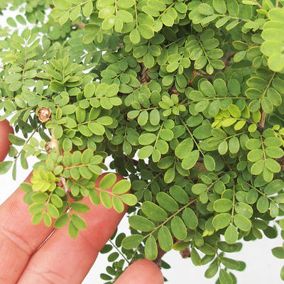 Kryty bonsai -Phyllanthus Niruri- Smuteň - 6