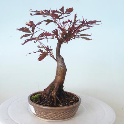 Bonsai zewnętrzne - palma Acer. Atropurpureum-Czerwony liść palmowy - 6