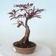 Bonsai zewnętrzne - palma Acer. Atropurpureum-Czerwony liść palmowy - 6/6