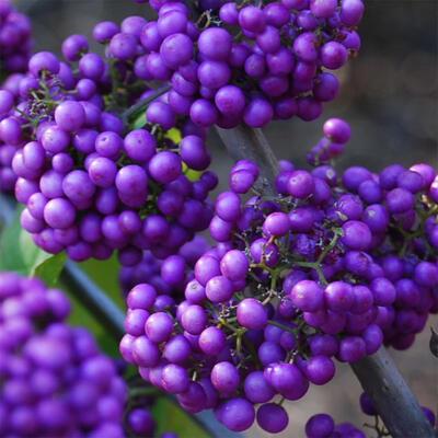 Outdoor bonsai - piękny Callicarpa - 6