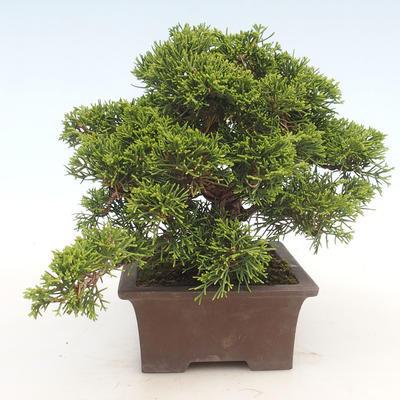 Outdoor bonsai - Juniperus chinensis Itoigawa-chiński jałowiec - 6