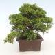Outdoor bonsai - Juniperus chinensis Itoigawa-chiński jałowiec - 6/6