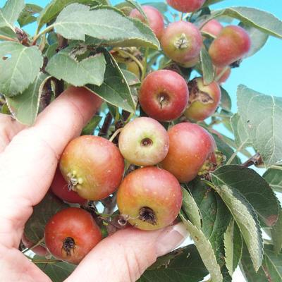 Outdoor bonsai -Malus Halliana - owocach jabłoni - 6