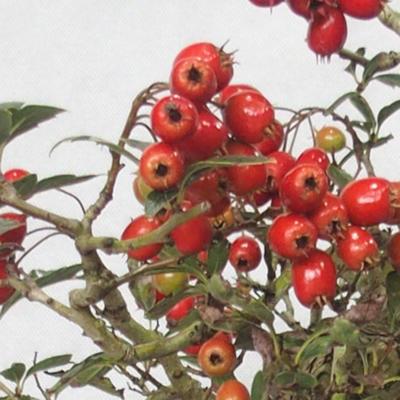 Outdoor bonsai - głogowe białe kwiaty - Crataegus laevigata - 6