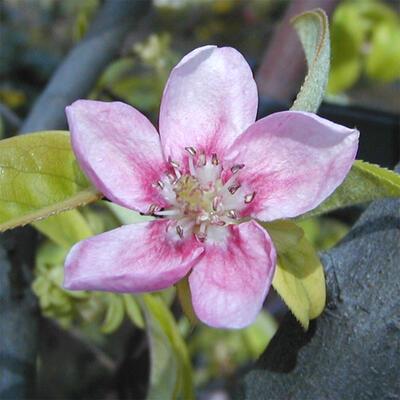 Outdoor bonsai - Pseudocydonia sinensis - Pigwa chińska - 6