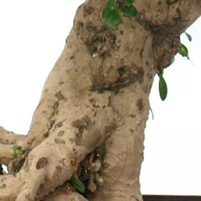 Kryty bonsai - Carmona macrophylla - herbata Fuki - 6