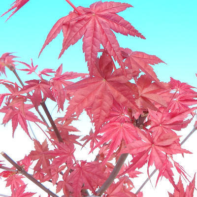 Outdoor bonsai - Klon palmatum DESHOJO - Klon japoński - 6