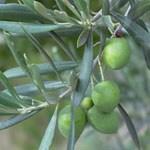 Kryte bonsai - Olea europaea sylvestris -Oliva european tiny - 6