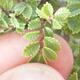 Bonsai zewnętrzne - Ulmus parvifolia SAIGEN - Wiąz drobnolistny - 7/7