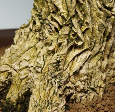 Kryty bonsai - Buxus harlandii - Bukszpan korkowy - 7