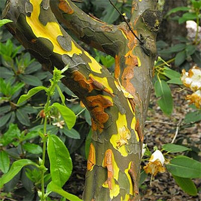 Outdoor bonsai - Pseudocydonia sinensis - Pigwa chińska - 7