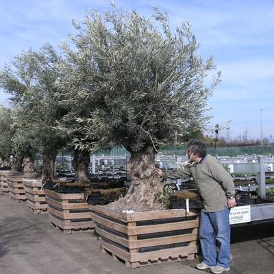 Kryte bonsai - Olea europaea sylvestris -Oliva european tiny - 7