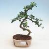Izbové bonsaje